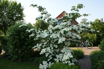 Cornus ´Venus´ in voller Blüte