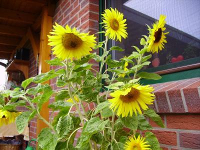 Sonnenblumen in einem Topf herangezogen