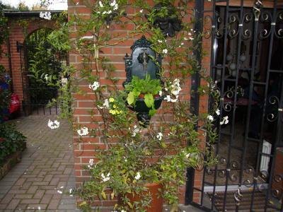 Jasminum solanum  auf meiner Terasse in Hilden