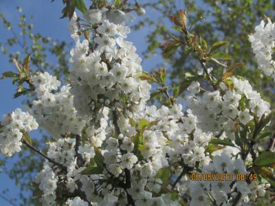 Kirsche im Frühling