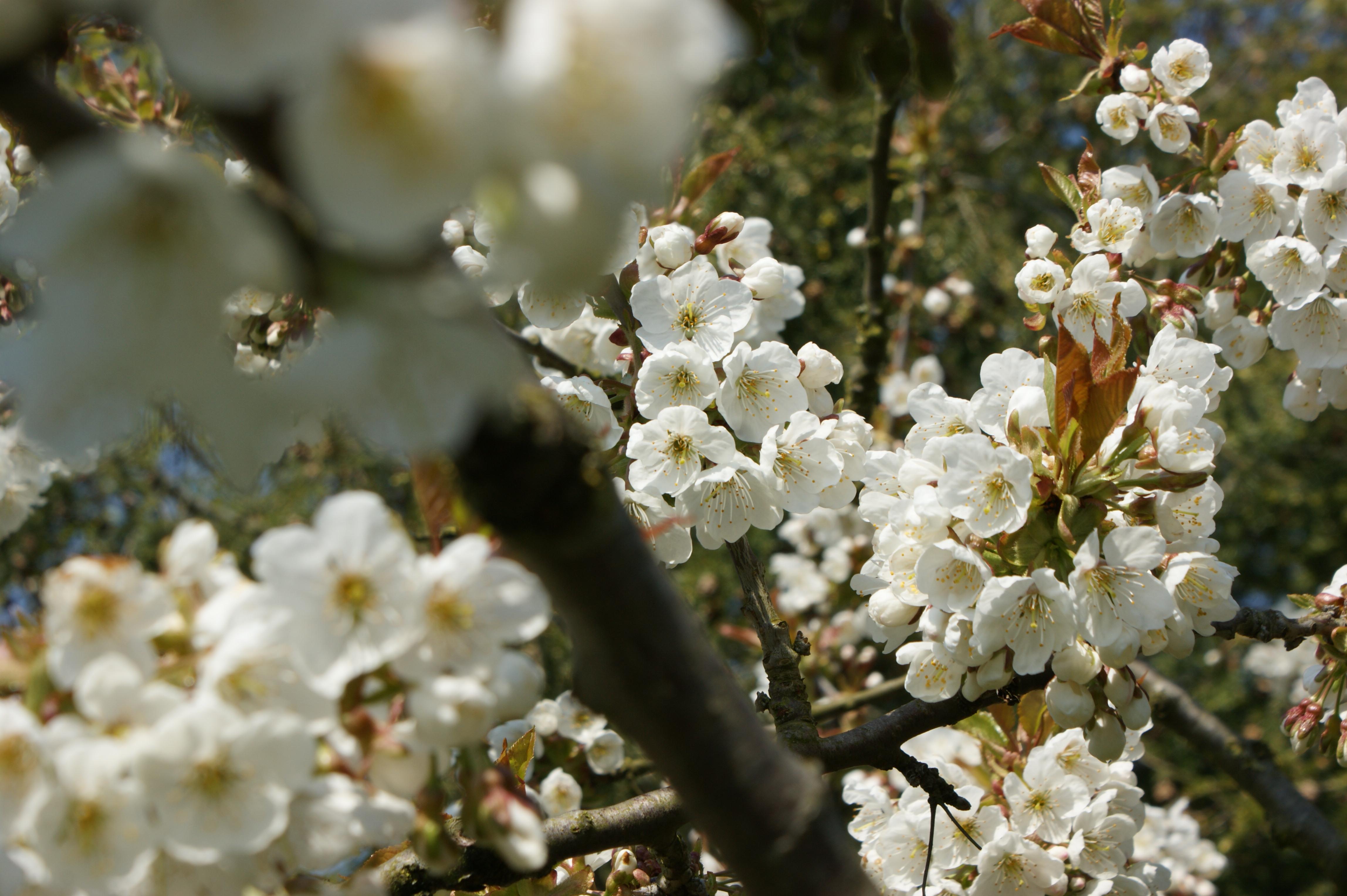 Süßkirschenblüte